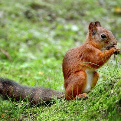 un écureuil à Peterhof